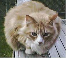 أنواع القطط الأليفة  Dixie